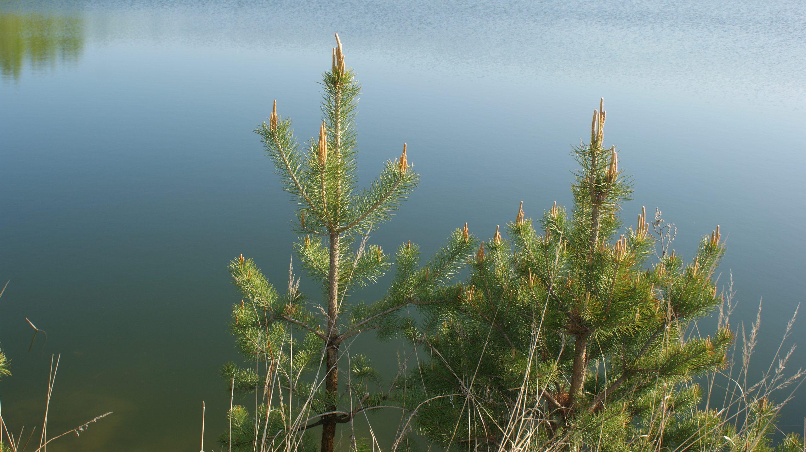 Елочки у озера
